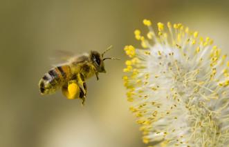 abeille pollinisationWEB
