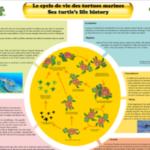 3. Photo Le cycle de vie des tortues marines