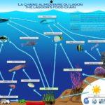 The lagoon's food chain
