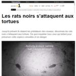Les-rats-Polynésie1ere