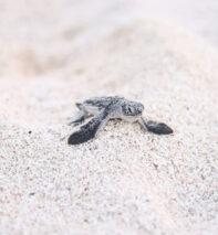 green sea turtle tetiaroa